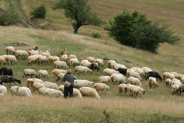 ovce_jivotni