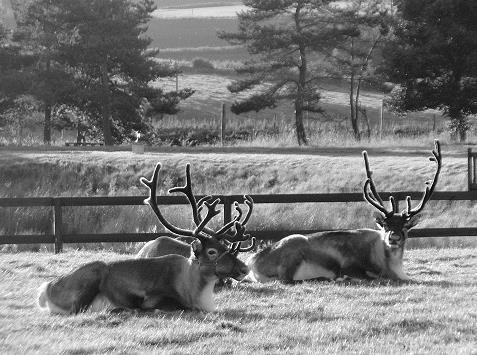 reindeer_11
