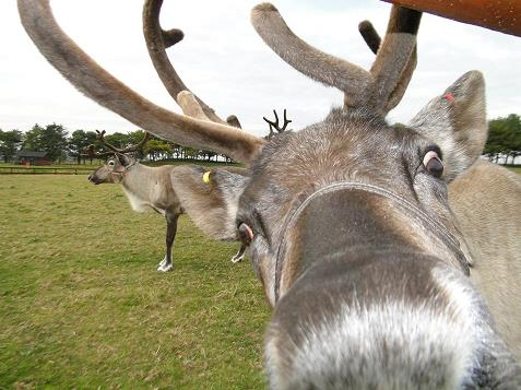 reindeer_12