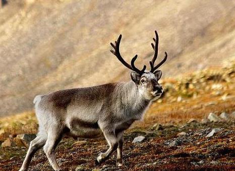 reindeer_13