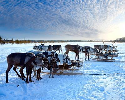 reindeer_5