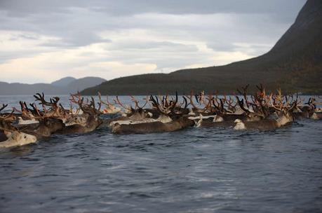 reindeer_8