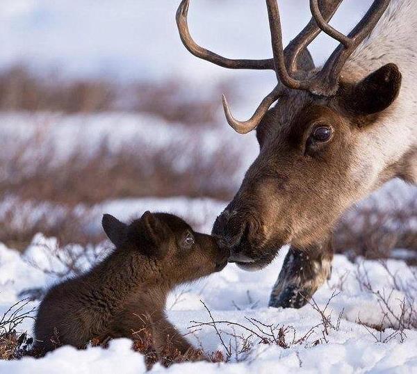 reindeer_9