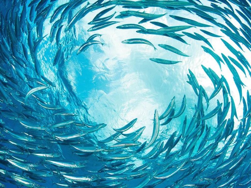 sardines-reef-caribbean_89671_990x742