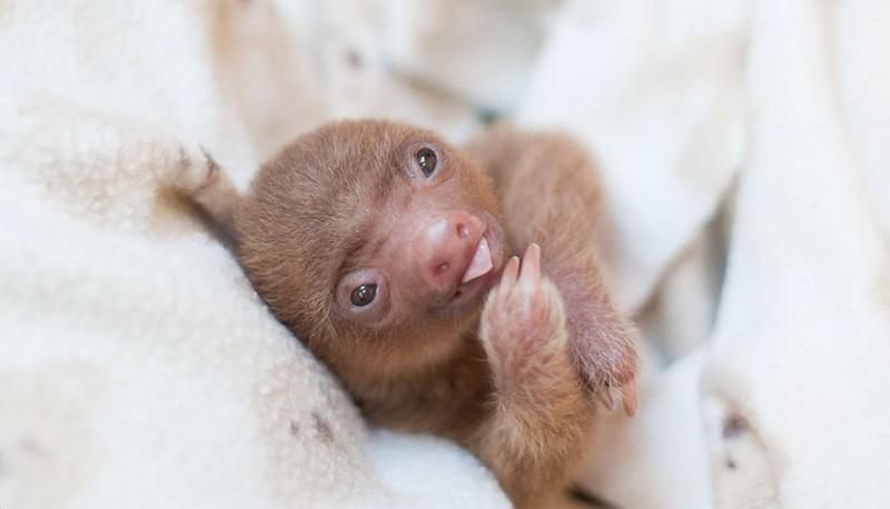 small sloth_16