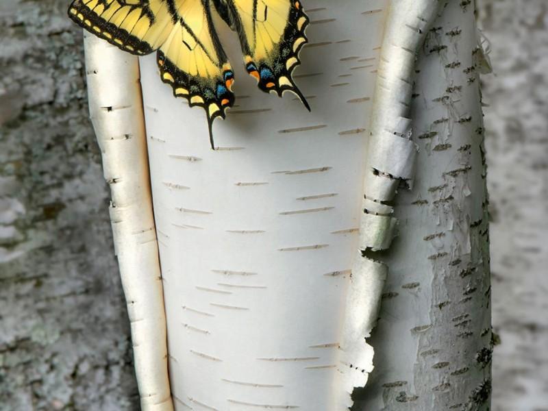 swallowtail-minnesota-spring_94607_990x742